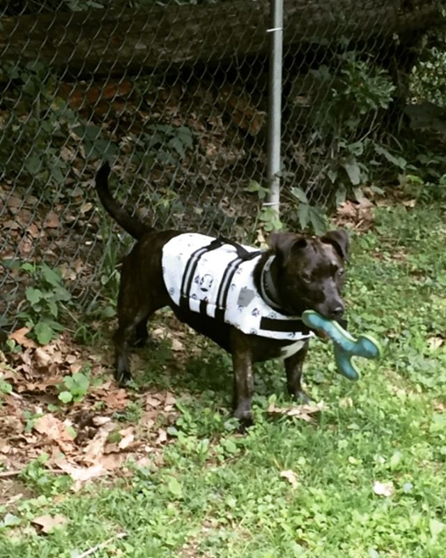 Life jacket- check Love of new floaty toy- check Game Face On- check Wonder Mutt is ready for his Dock Dogs competition tomorrow @bensonspetcenter. If you are in the Clifton Park area come and cheer on the OAE teams!  #wondermutt #dockdogs #hopehecanswim #support #community #518 #518dogs #servicedogsgonewild #funinthesun #seeyoutomorrow