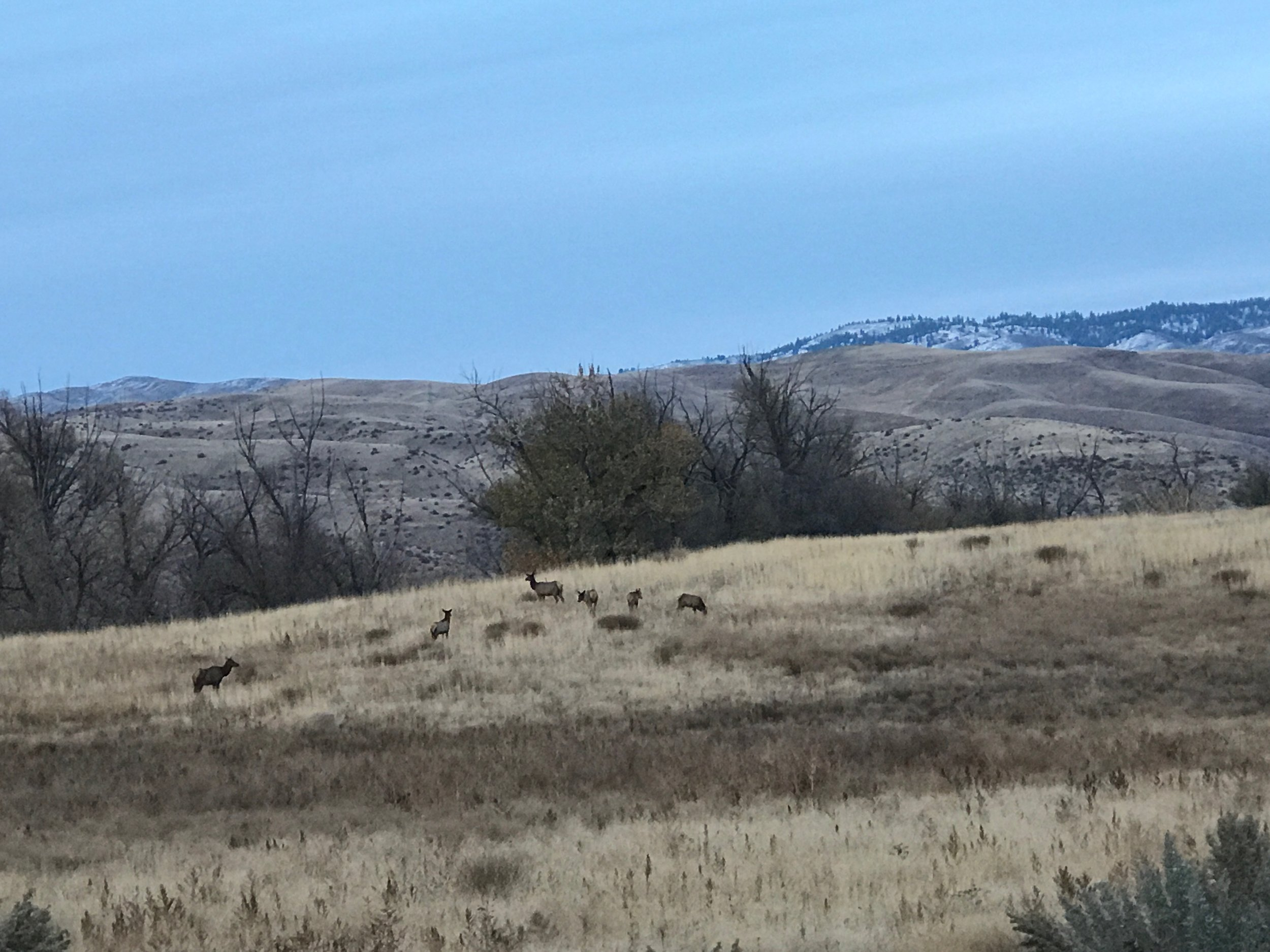 Photo of elk in the Dry Creek Valley by  Justin Hull.
