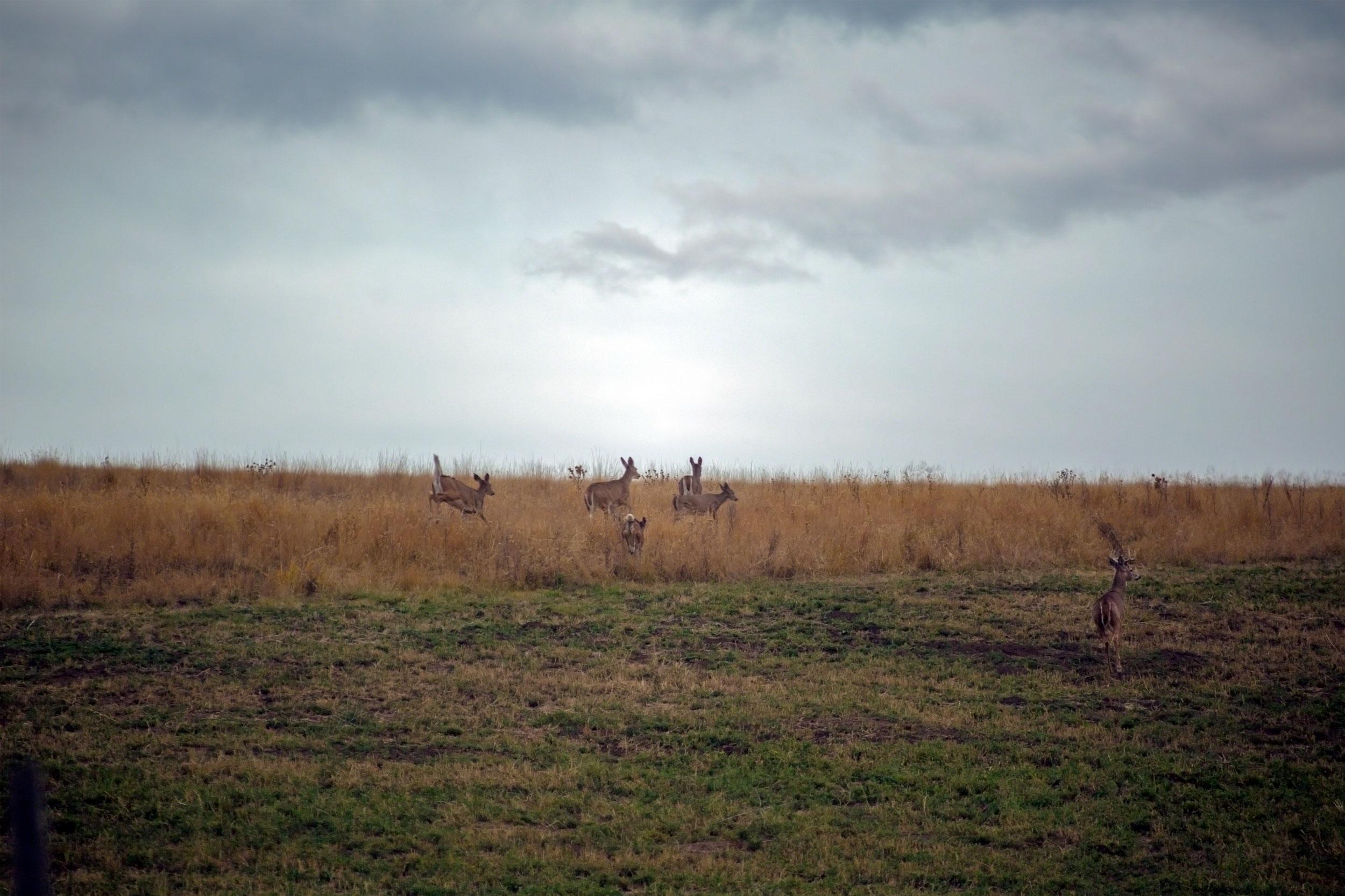 Deer on Zumwalt Prairie