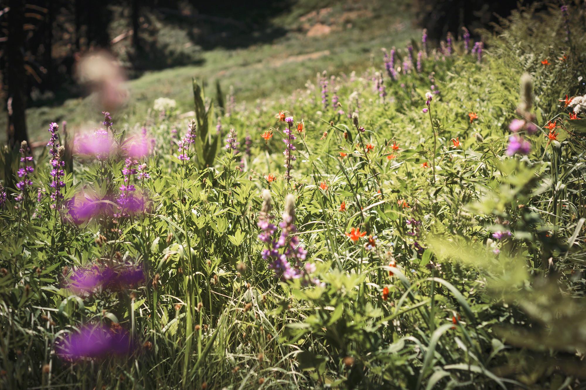 Mt.-Ashland-Meadows.jpg