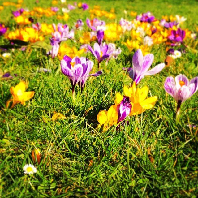 #springtime #gorgeous #crocus #wildflowers #beautifulsurrey #waltononthames #local #discoveryourtown #funinthesun #sunshine
