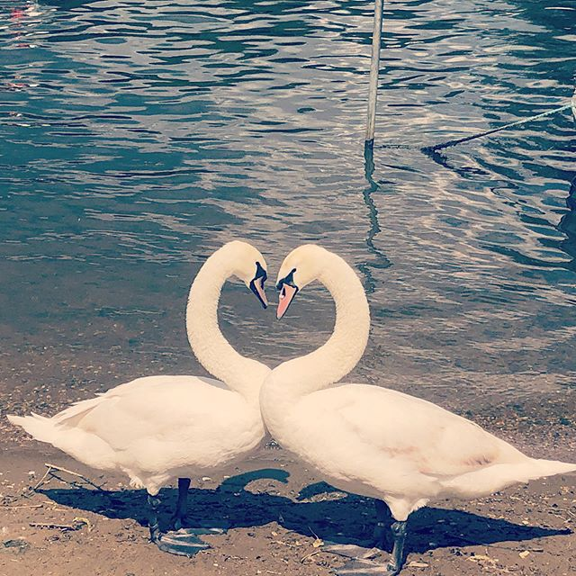 #loveisintheair #swan #love #discoveryourtown #waltononthames #downbytheriver #bankholidayweekend