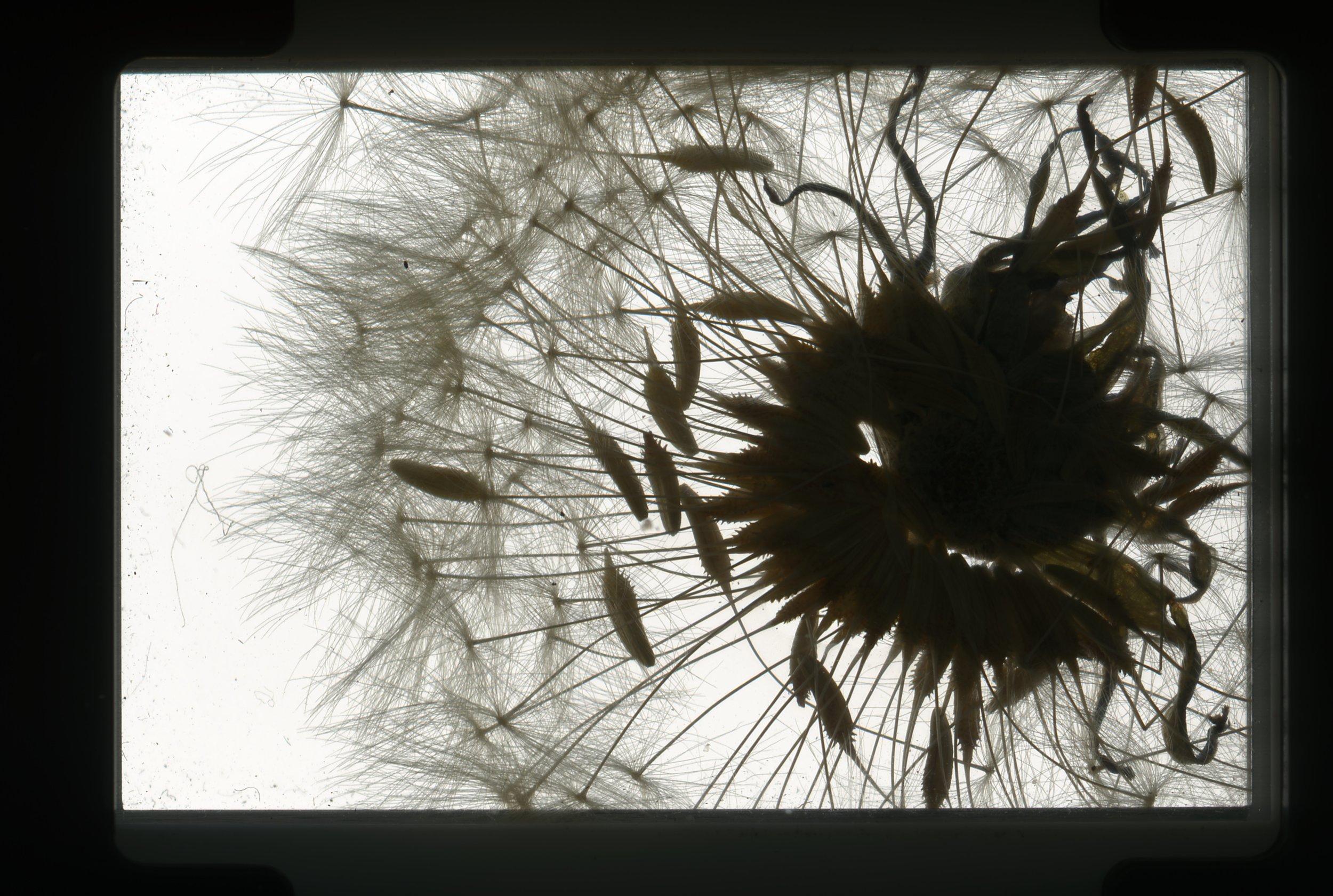 norway.02.pf.dandelion.jpg
