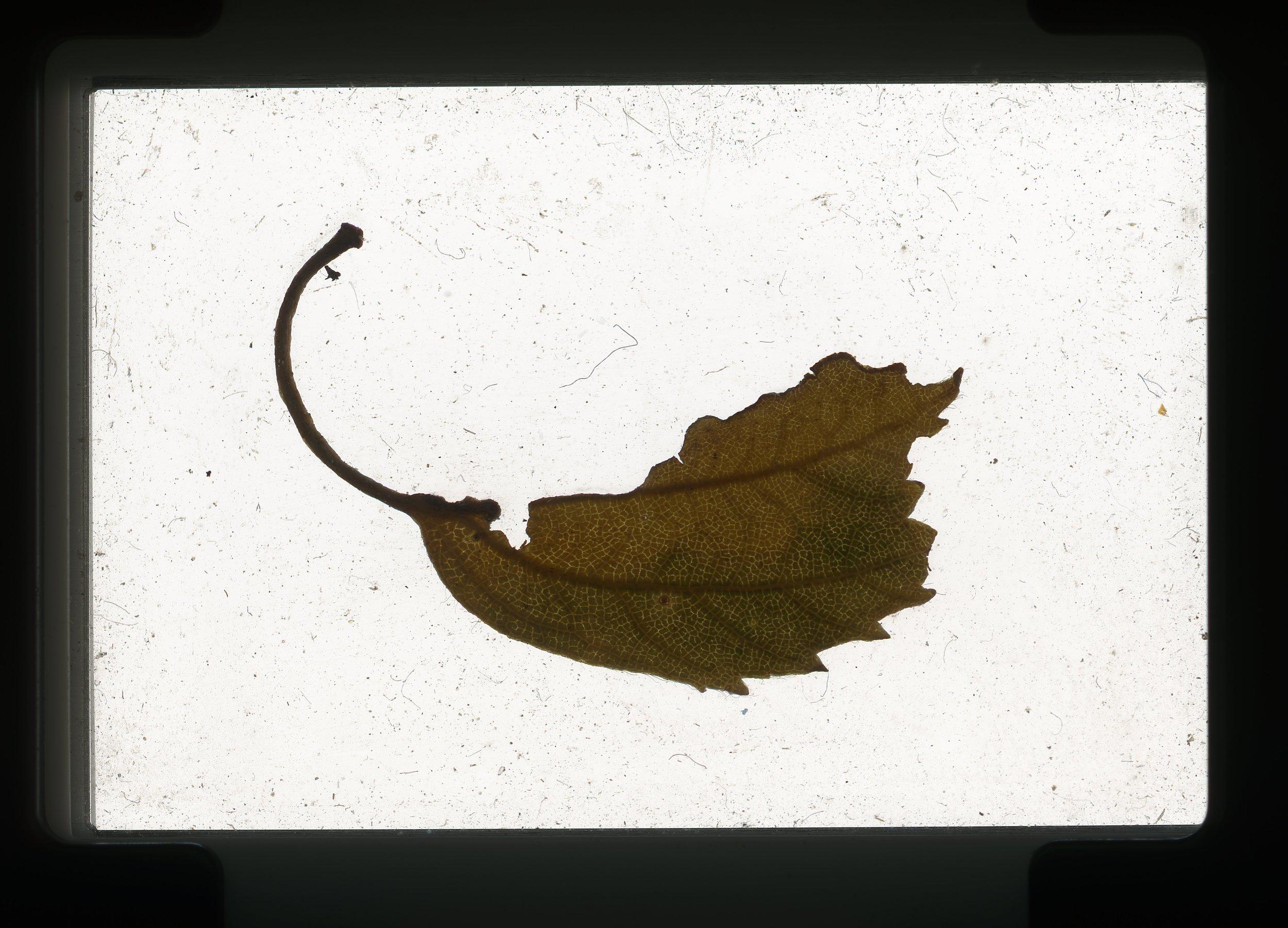 norway.12.pf.leaf1.jpg