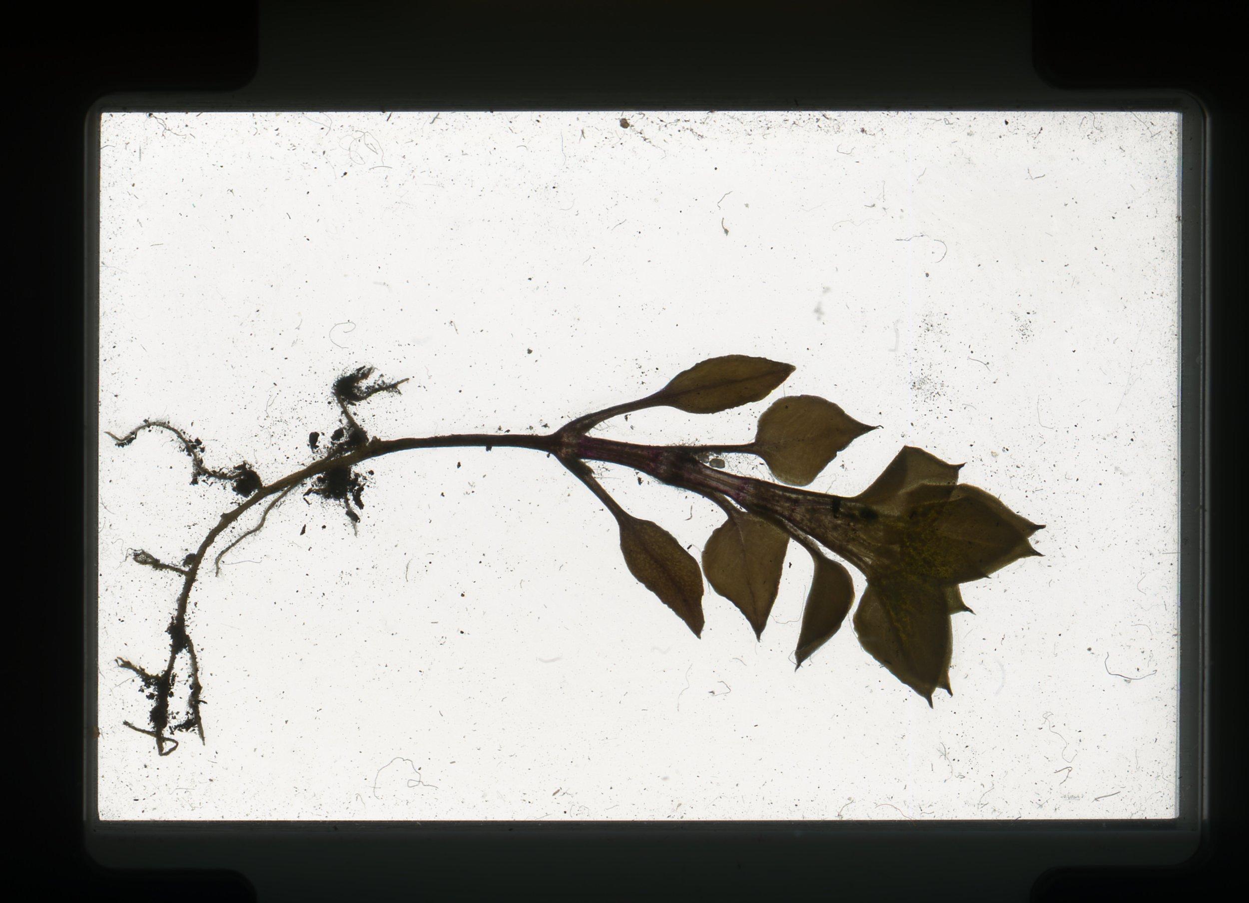 norway.24.pf.smallwholeplant.jpg
