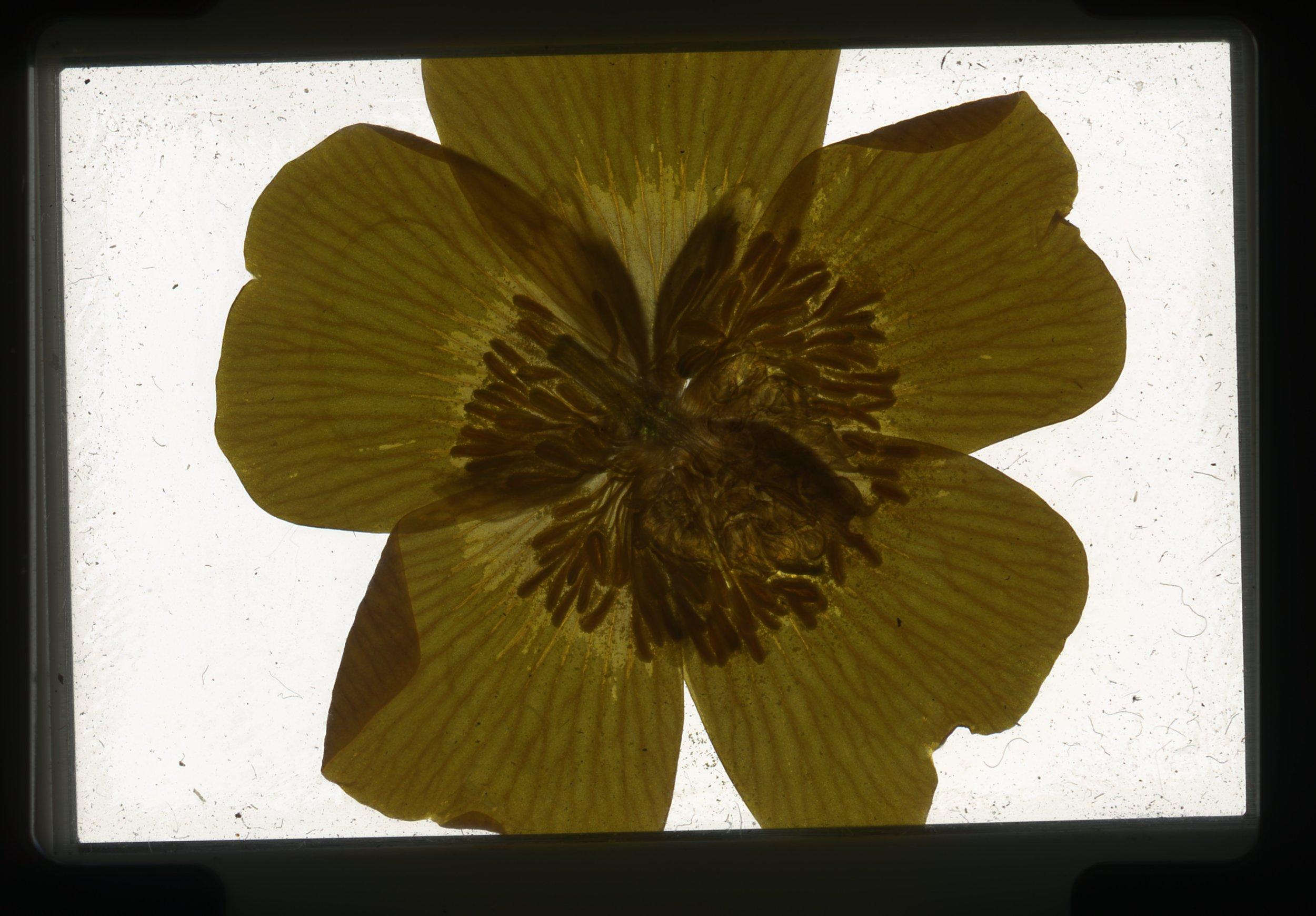 norway.37.pf.yellowflower.jpg