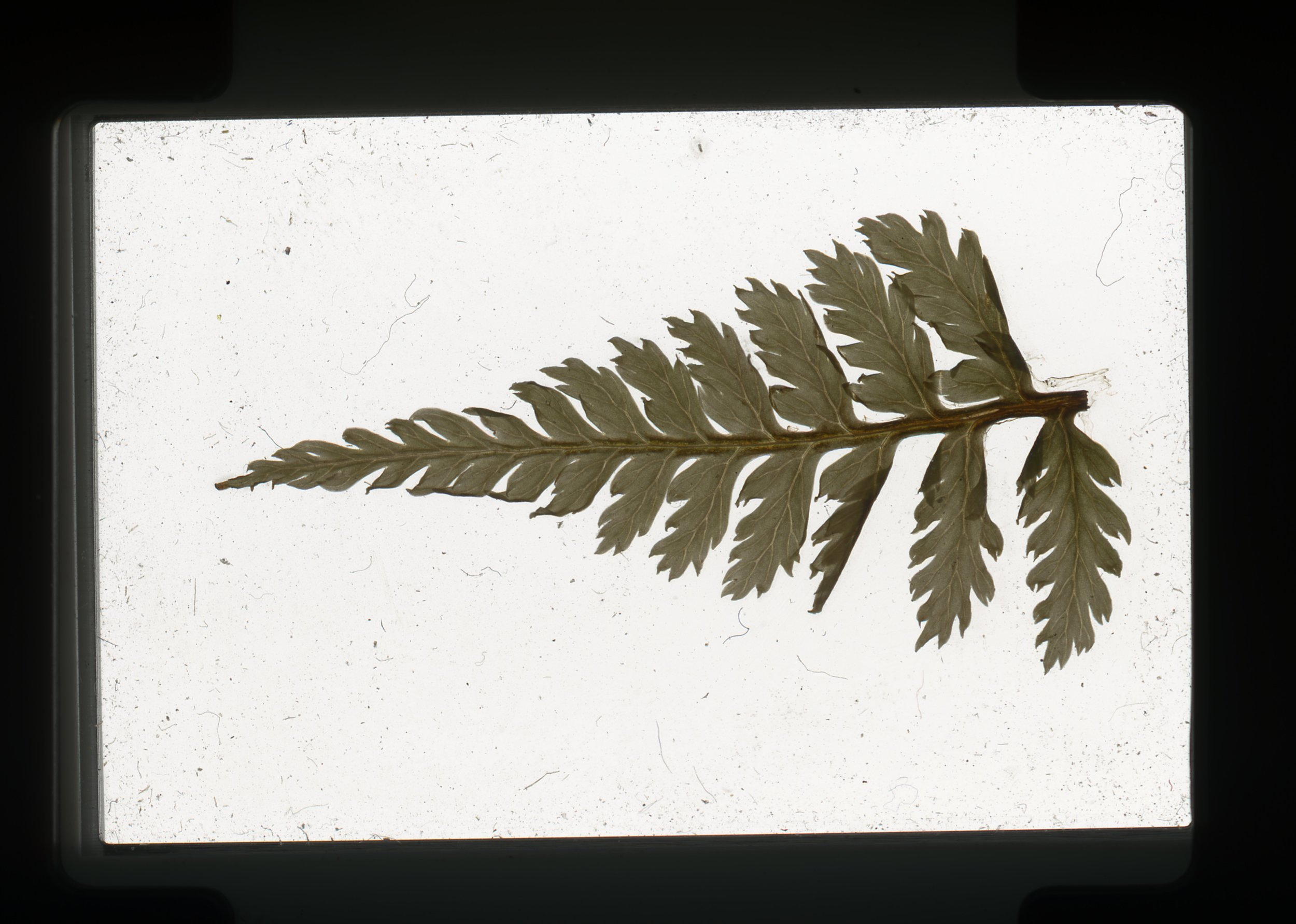 norway.40.pf.fern.jpg