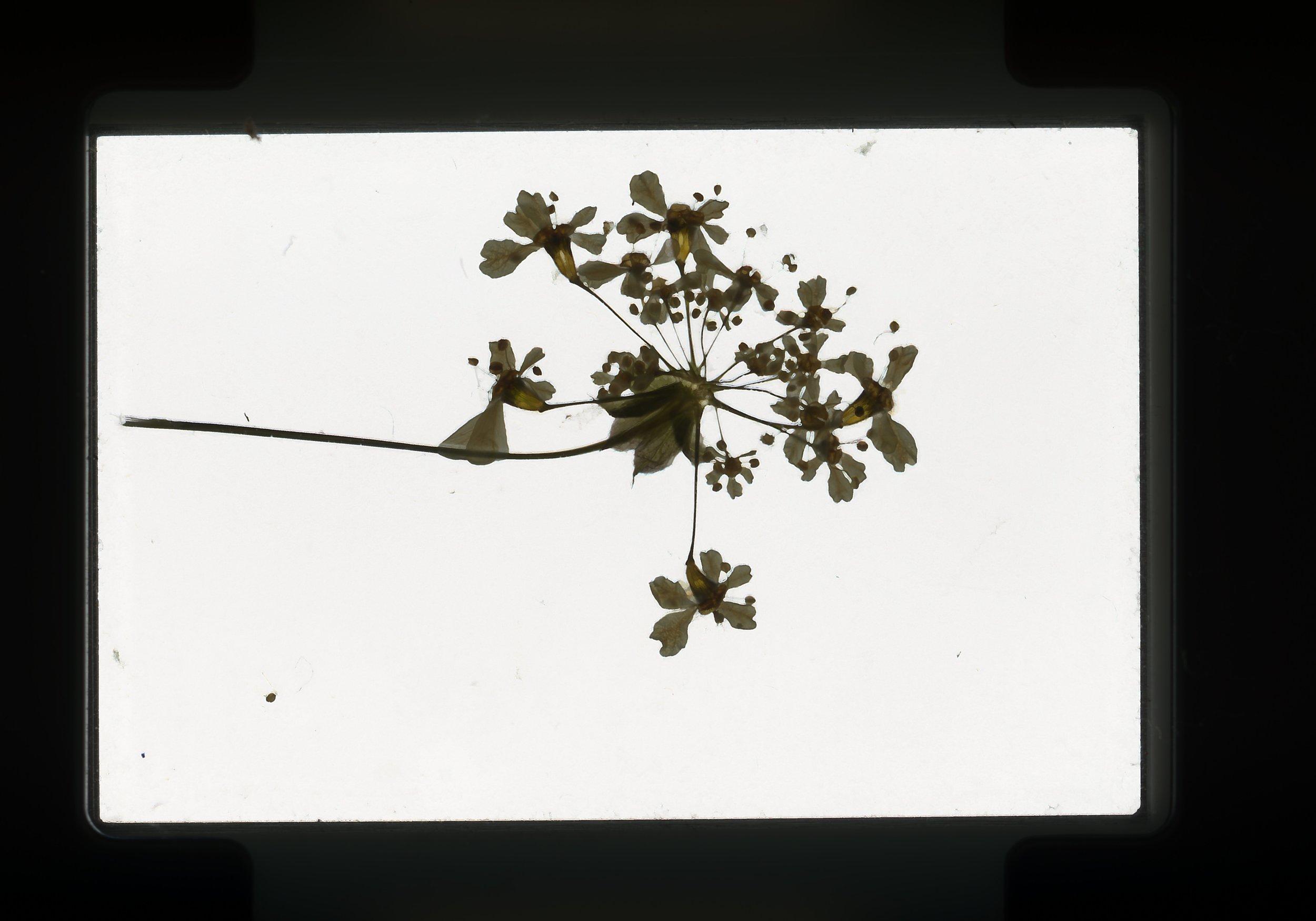 norway.59.pf.whiteflowers.jpg