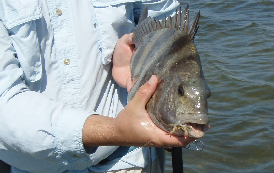 Sheepshead on fly. Sight casting to sheepshead with crab fly.