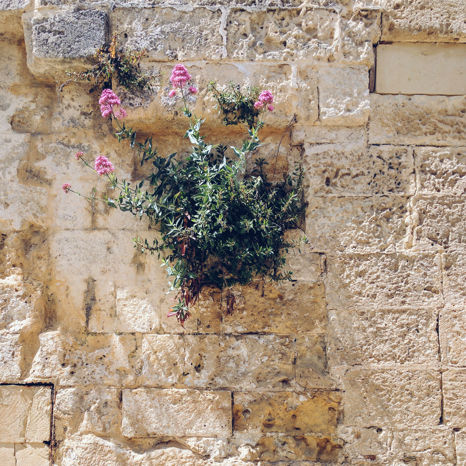 A courageous wildflower in Matera, Basilicata, Italy.