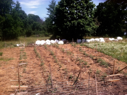 The rows of tomatoes and the locust wood trellis we made with off-cuts from a nearby mill. July 2016