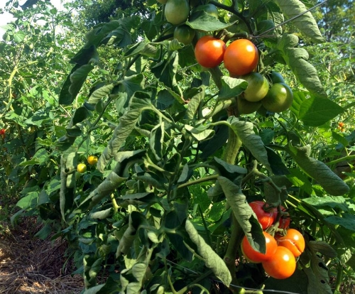 Mature, and astonishingly large cherry tomatoes! The entire plot had no irrigation, despite a record breaking drought. We like to attribute this success to the heavy mulch, which allowed the soil to stay moist regardless of the lack of rain. August 2016