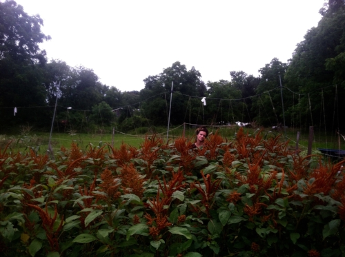"""Sylvia amongst the Amaranth, which means """"unfading flower"""" in latin. We saved the seed and will eat it as one of our staple grains this winter. September 2017"""