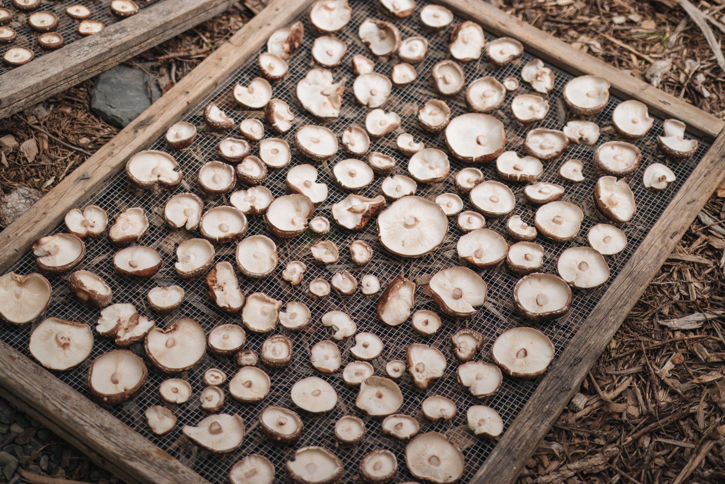mushroom dry.jpg