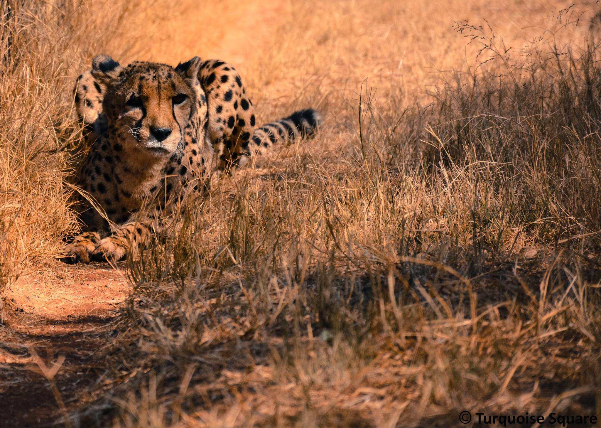 africa-photo-safari-cheetah4.jpg