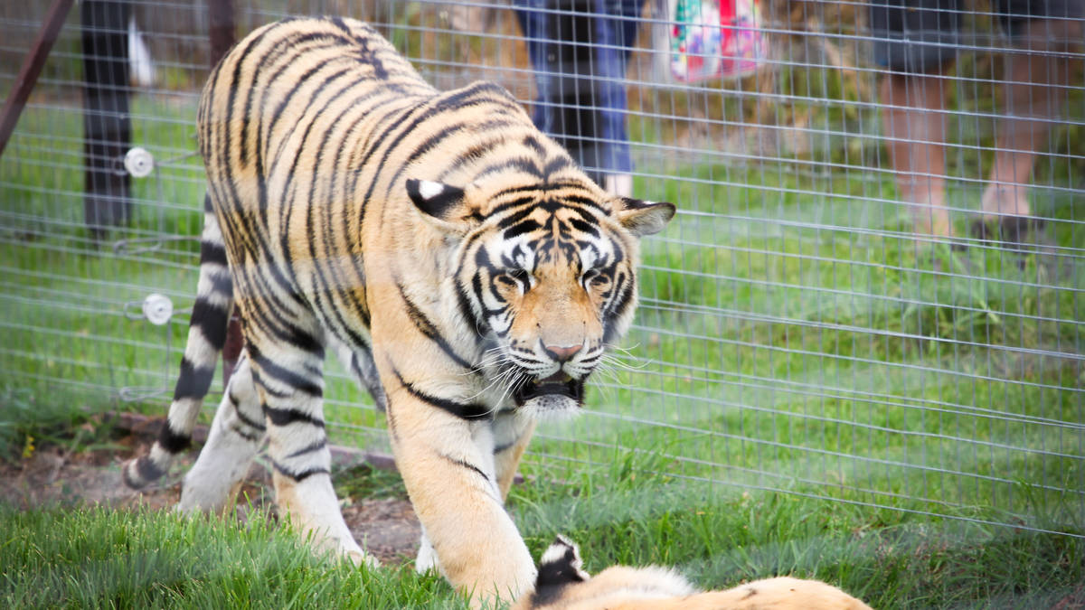 Big Cats Park - Enjoy the rare and exciting experience of being able to view these beautiful creatures up close...and do not forget the wine tasting!