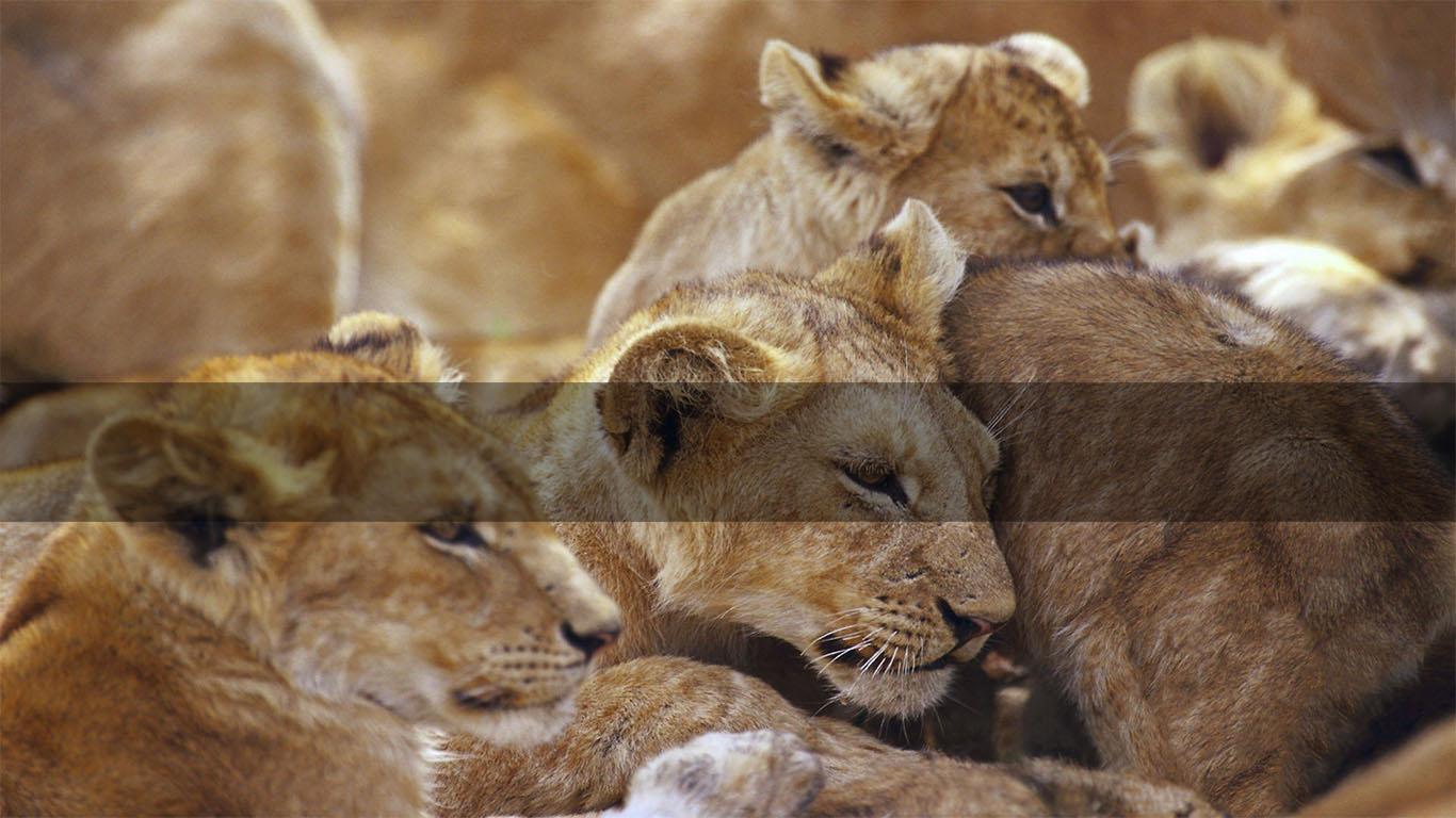 Africa Safaris       BOTSWANA's LIONS      MORE INFO