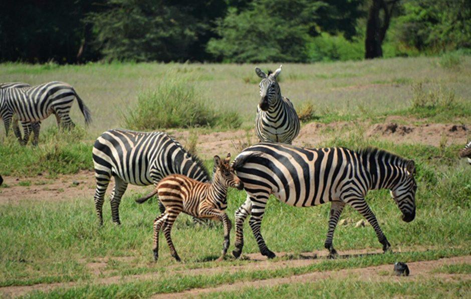 Amboseli12a.jpg