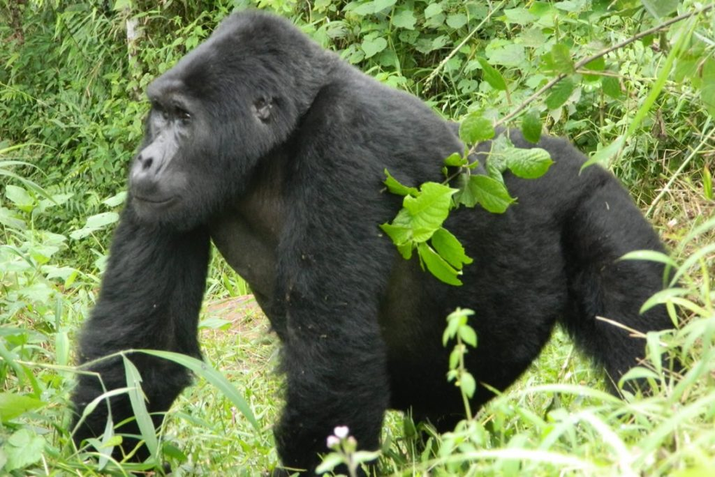 9 DAY GORILLA SAFARI - Silverbacks, babies & more!