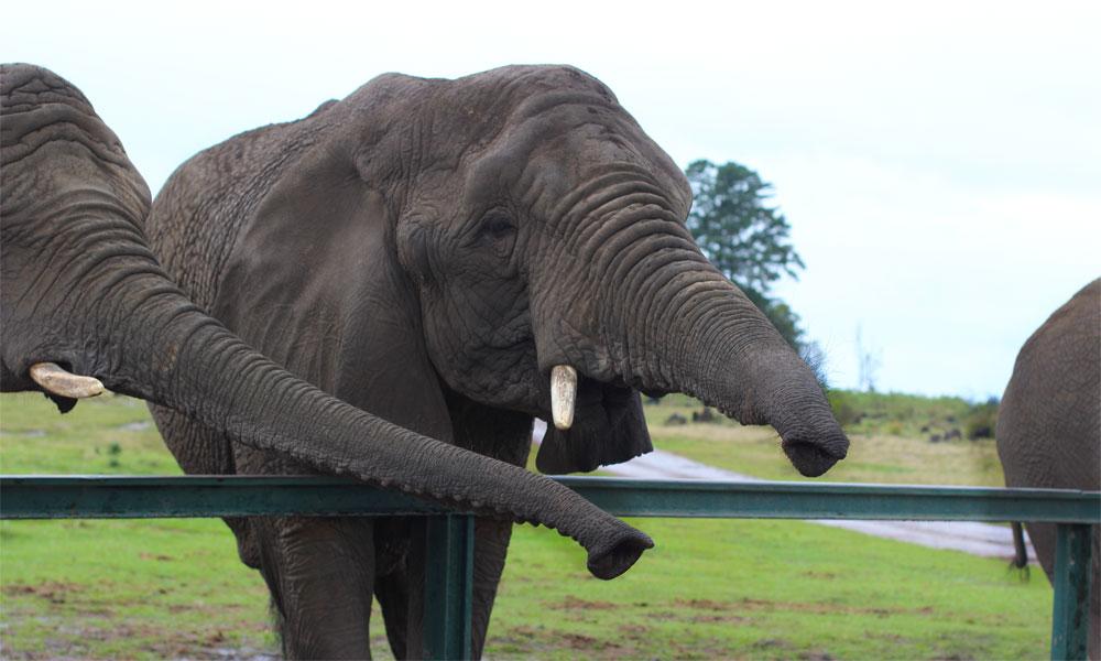 Knysna Elephants16.jpg