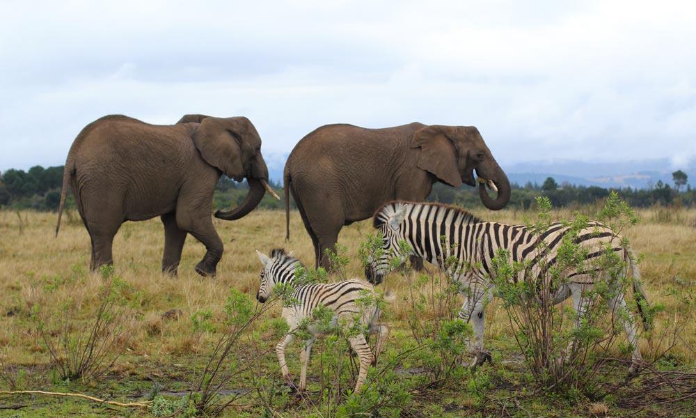 Knysna Elephants13.jpg