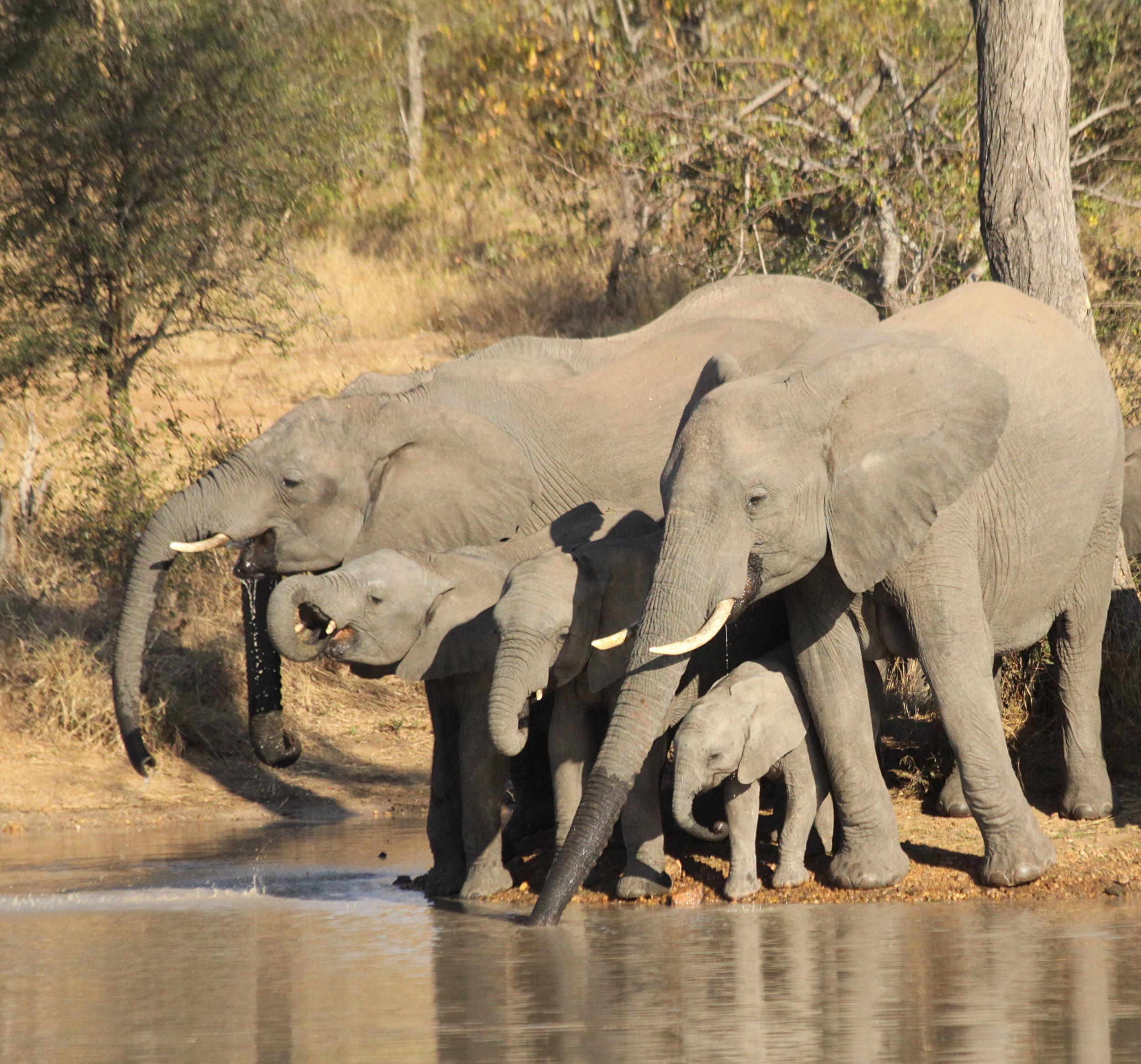 elephants-drinking.jpg
