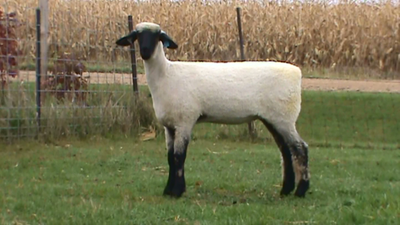 Lot 34 sub - Bobendrier Hampshires 16-53  sold for $650 to Grant Basting from IL