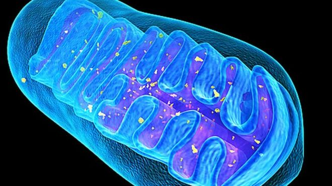 Meet the Mitochondria. Where our heat and energy keeps us going.         Courtesy @Womenwhocycle