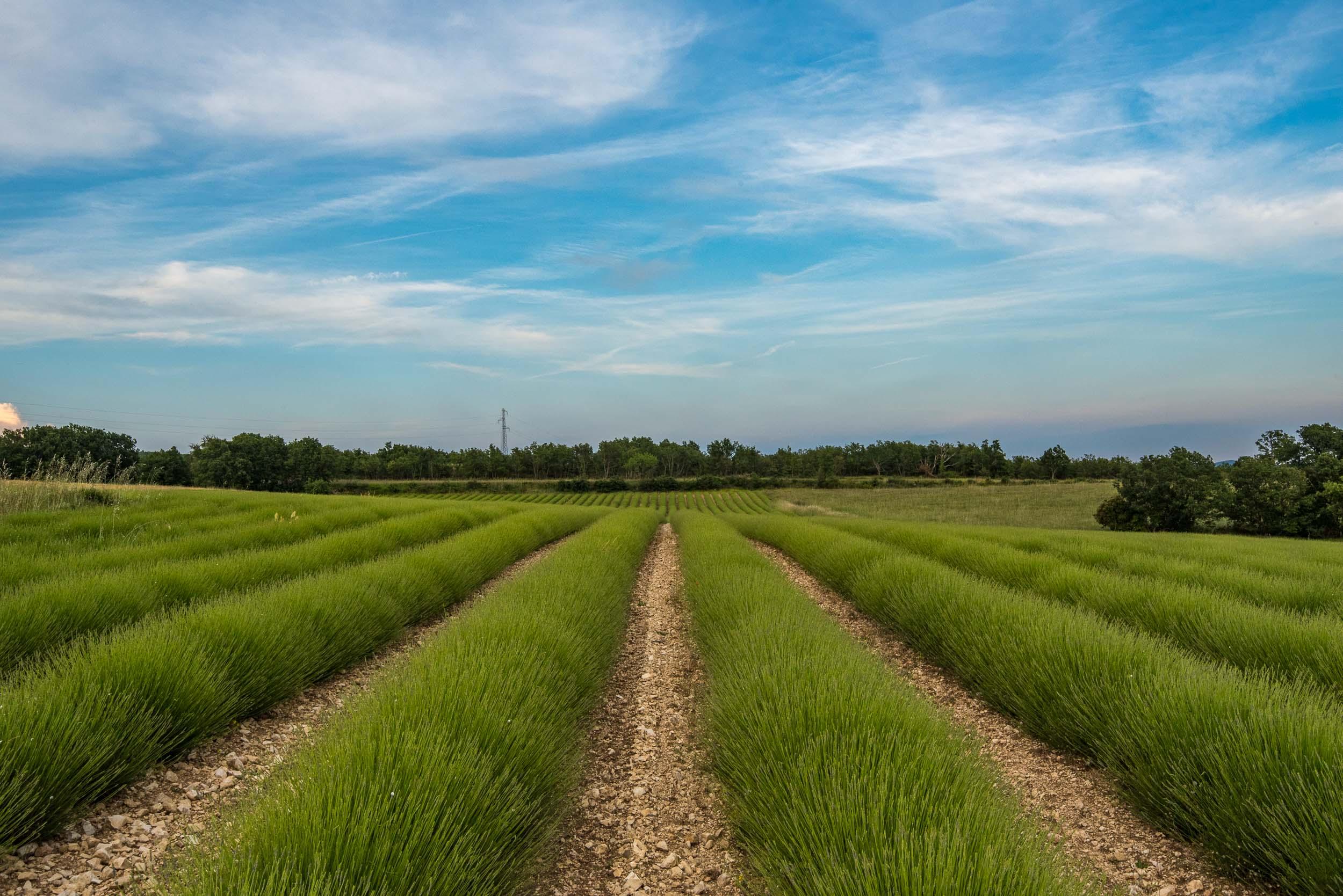Green lavender...