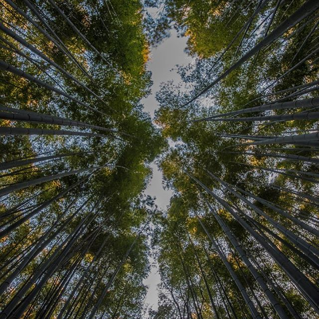 Looking up in the Arashiyama Bamboo Grove. This is another highly photographed spot outside of Kyoto's center and was a great spot to walk before the crowds showed up. #whereveryouland