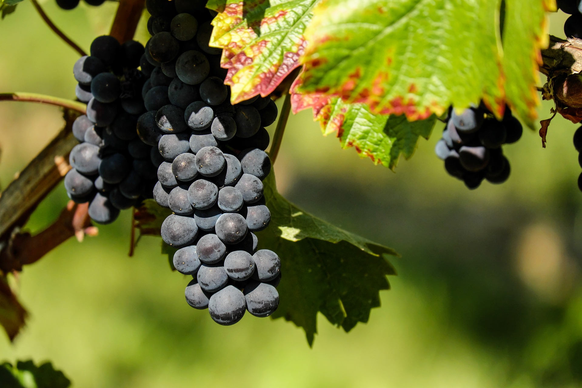 grapes-1696921_1920.jpg