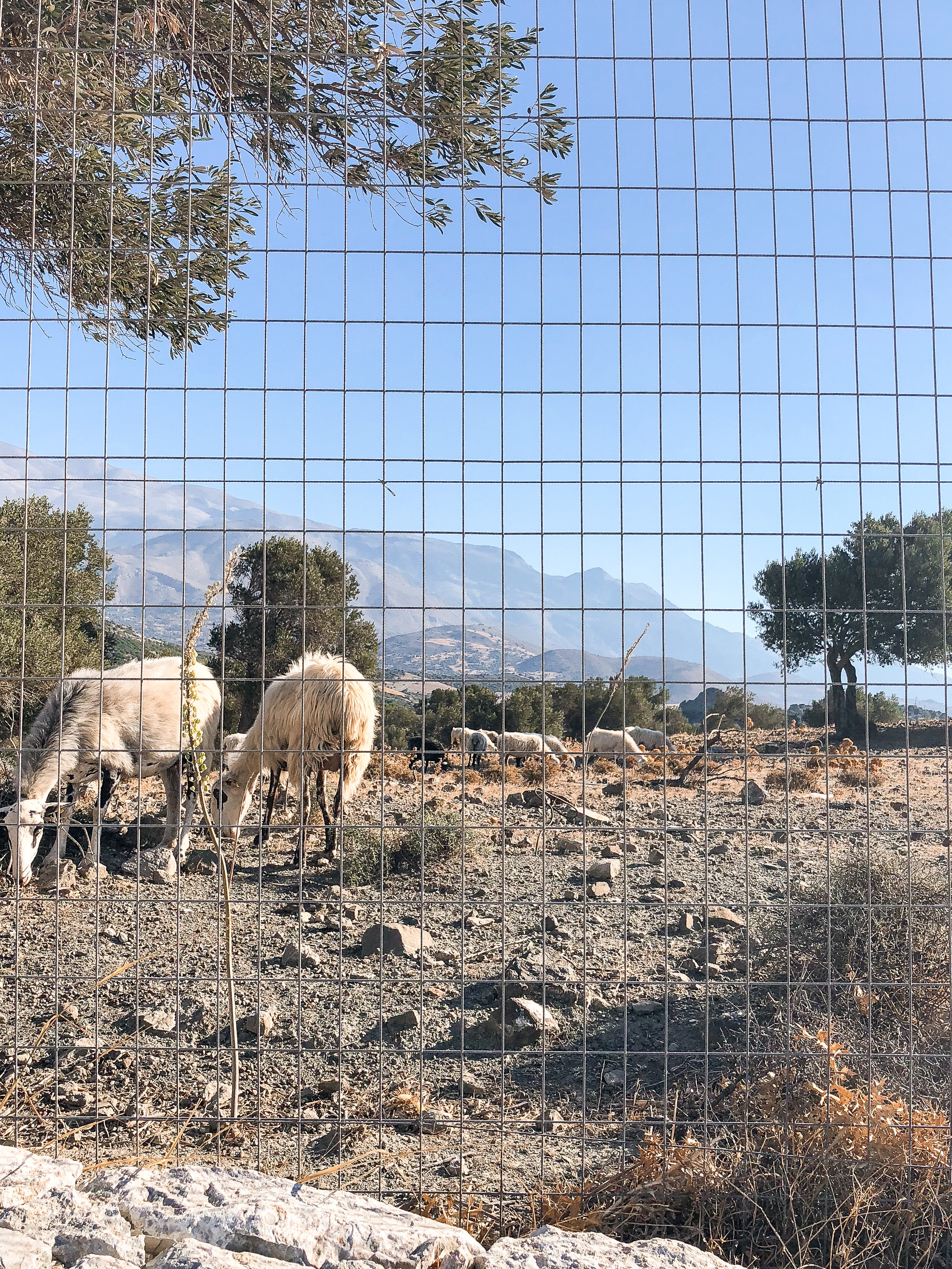 Goats that we heard before we saw, and not because of their bellowing! The light tinkling of their bells was barely audible, and we only heard it when we were walking to breakfast our first morning.
