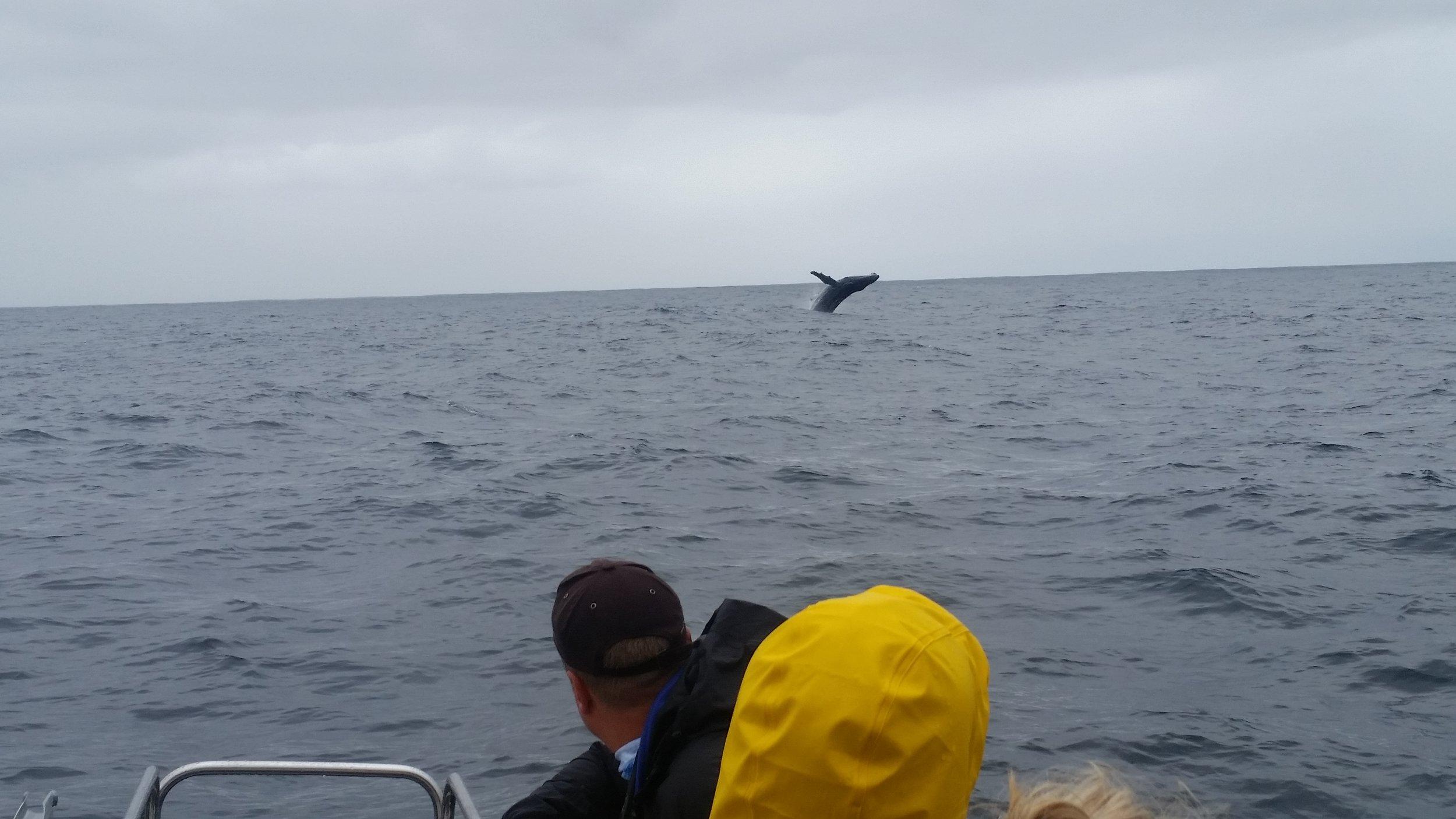 Humpback Whale Breaching on a Pelagic Bird Watching Charter!