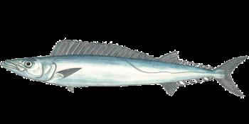 Cape Snoek Fish.png