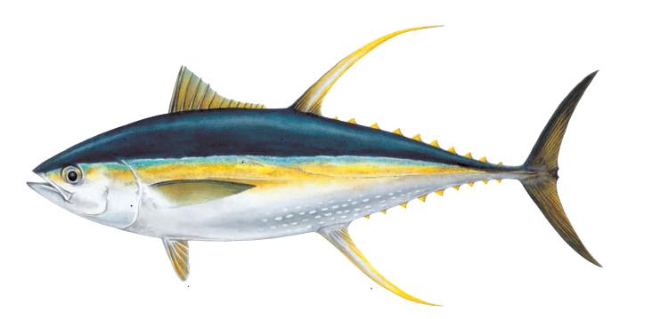 yellowfin-tuna.png