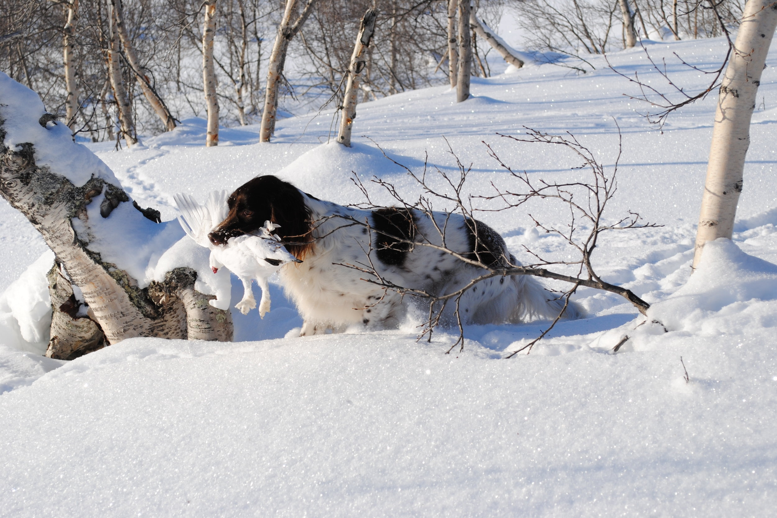 Treningsfelt for fuglehund - Har du og fuglehunden lyst til å trene i Skjåk?