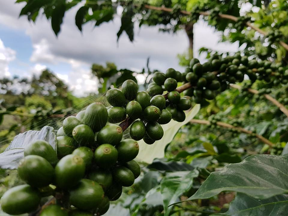 El Salvador Coffee Beans