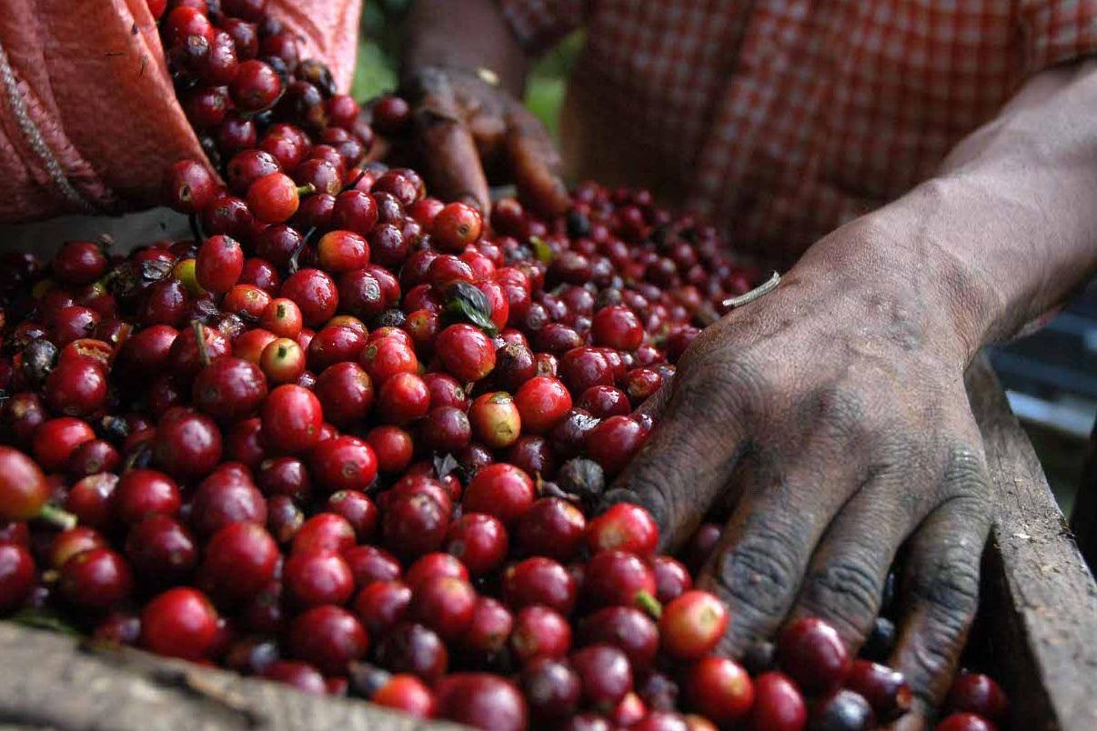 Coffee-Beans-Guatemala.jpg