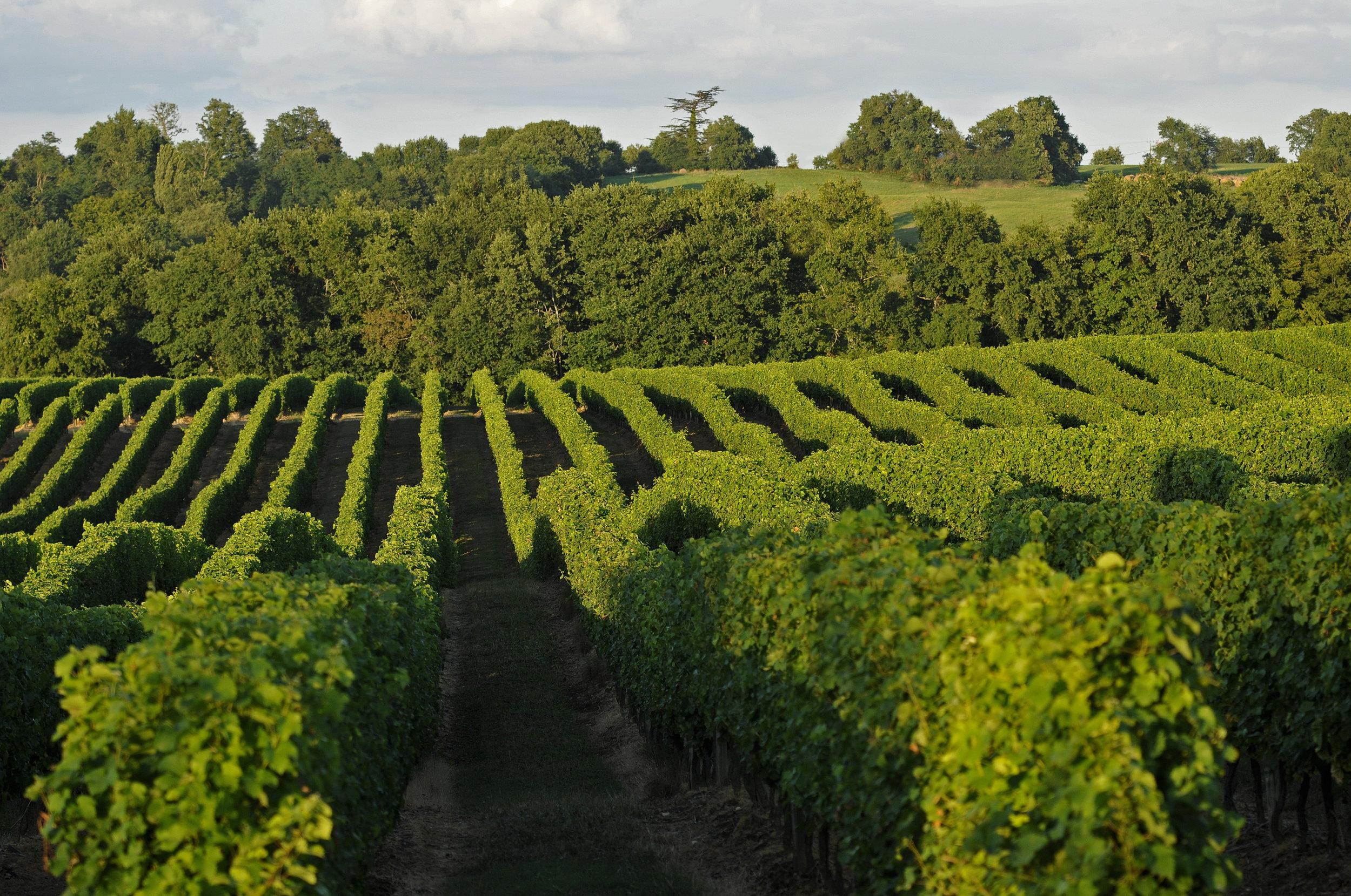 Tariquet vignes.jpg