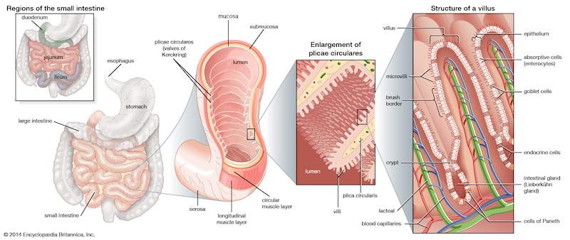 Detalle del intestino delgado y sus cavidades y vellosidades, que aumentan la superficie de absorción.