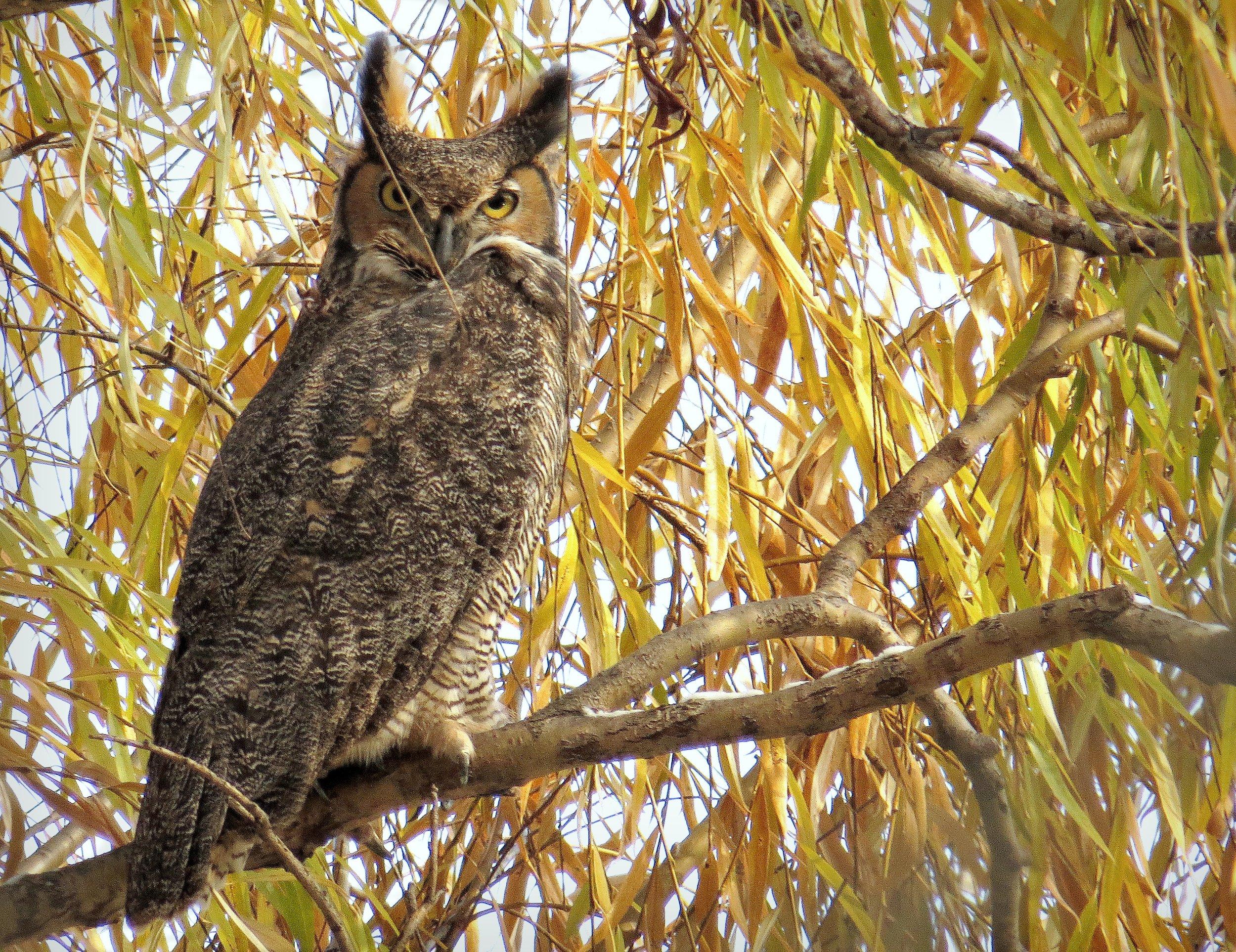 great horned owl nov 17 2014b.jpg