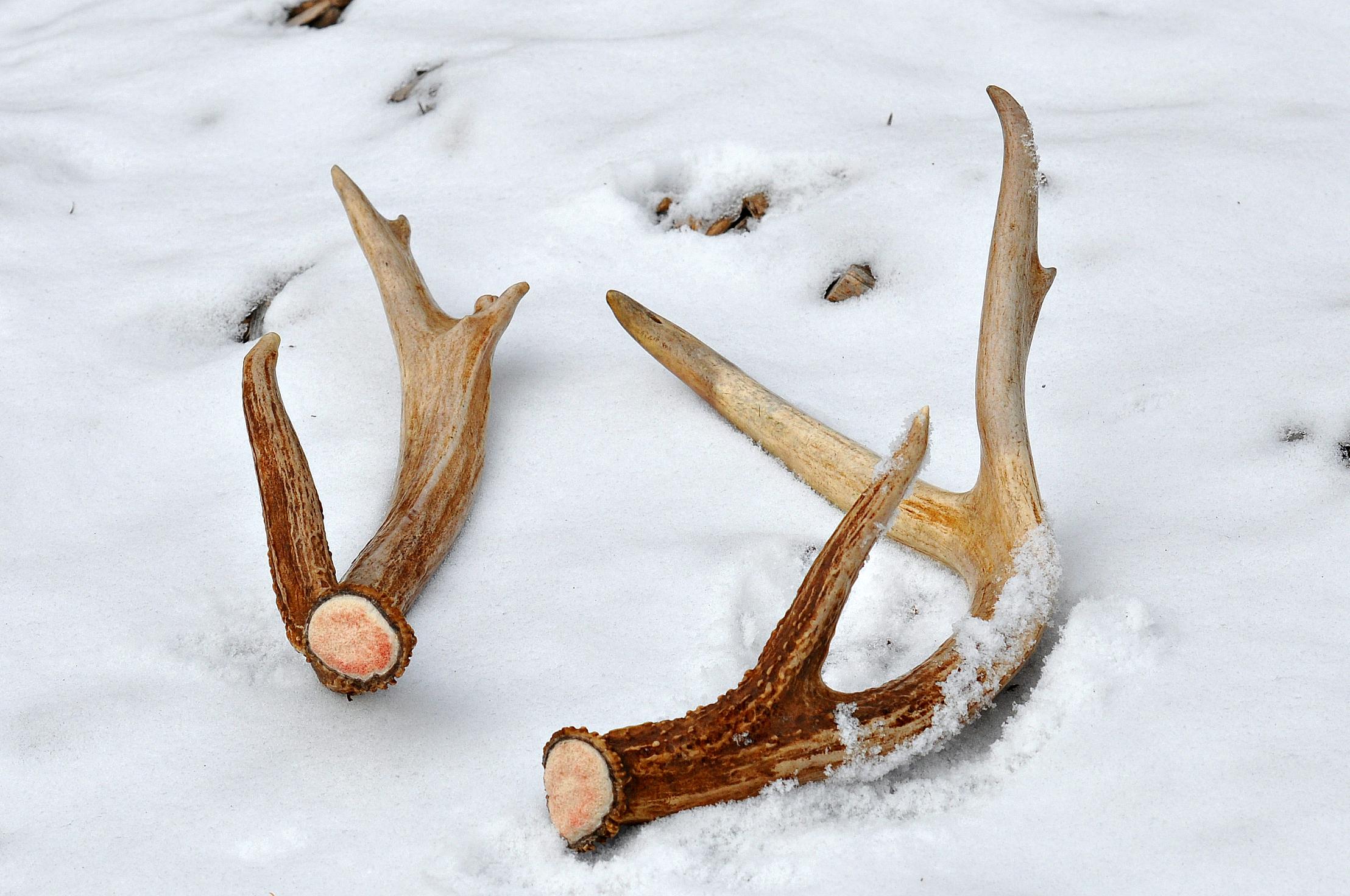 limpy antlers 024.jpg