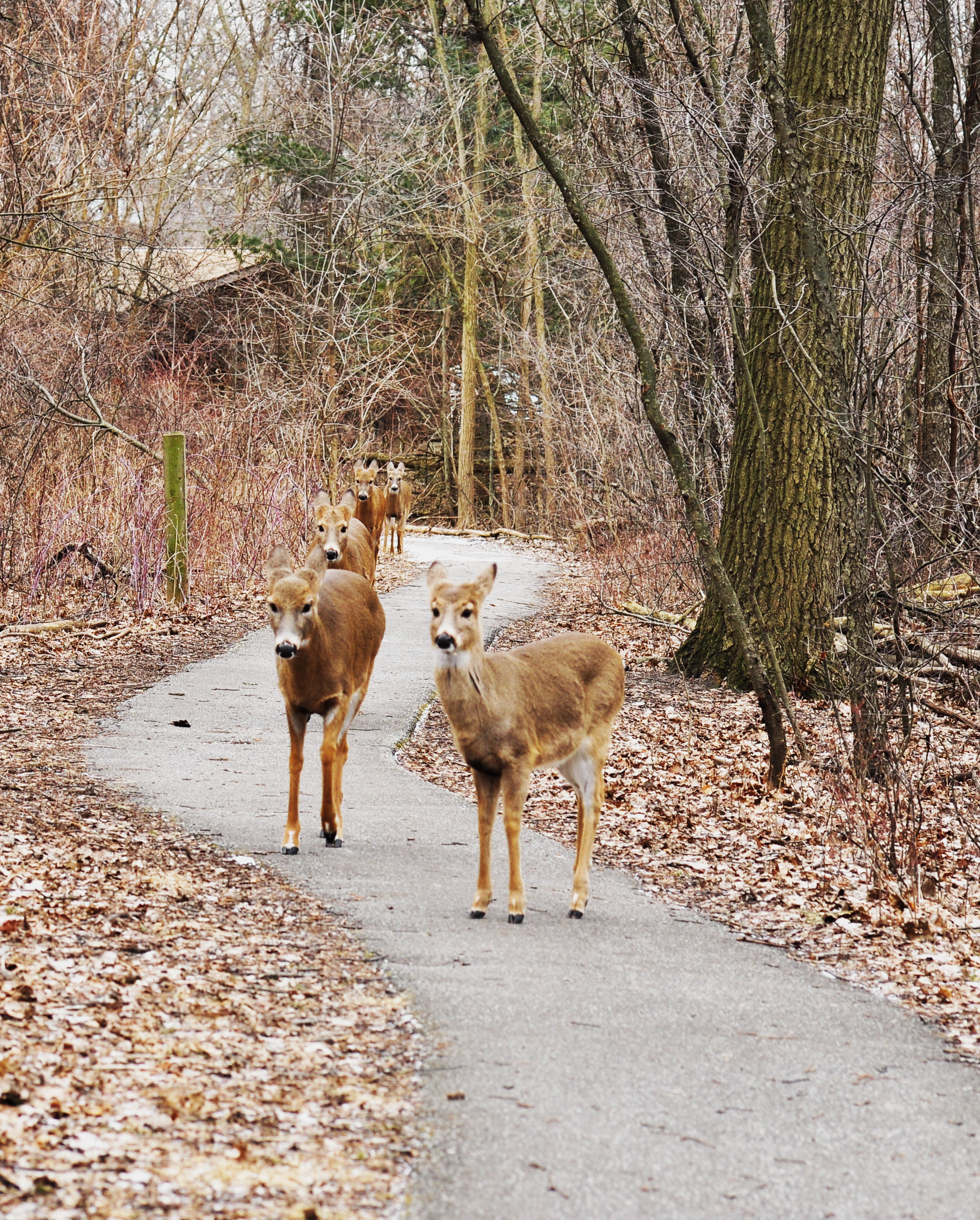 ojibway deer bucks 103.jpg