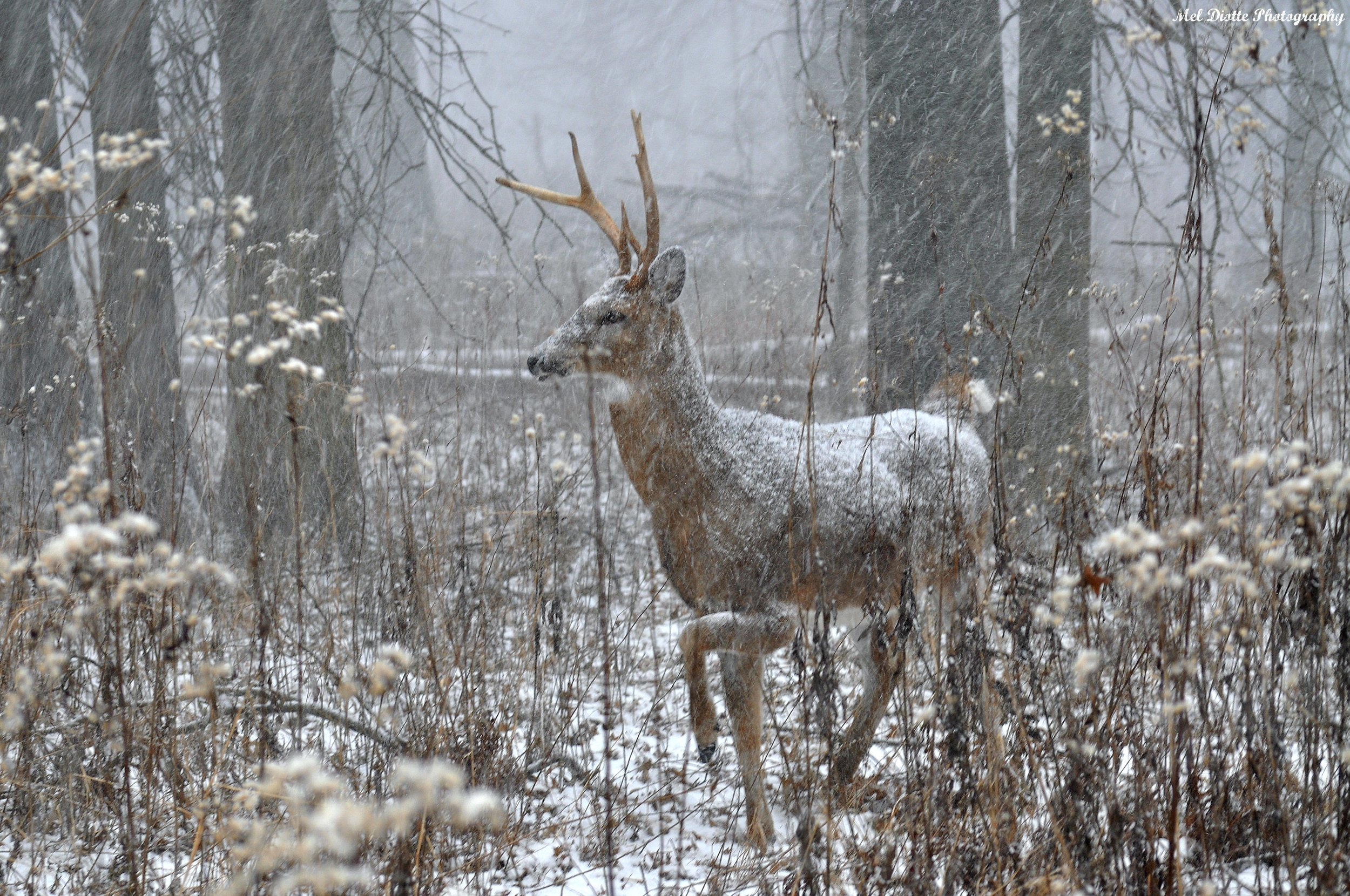 piebald deer 127.jpg
