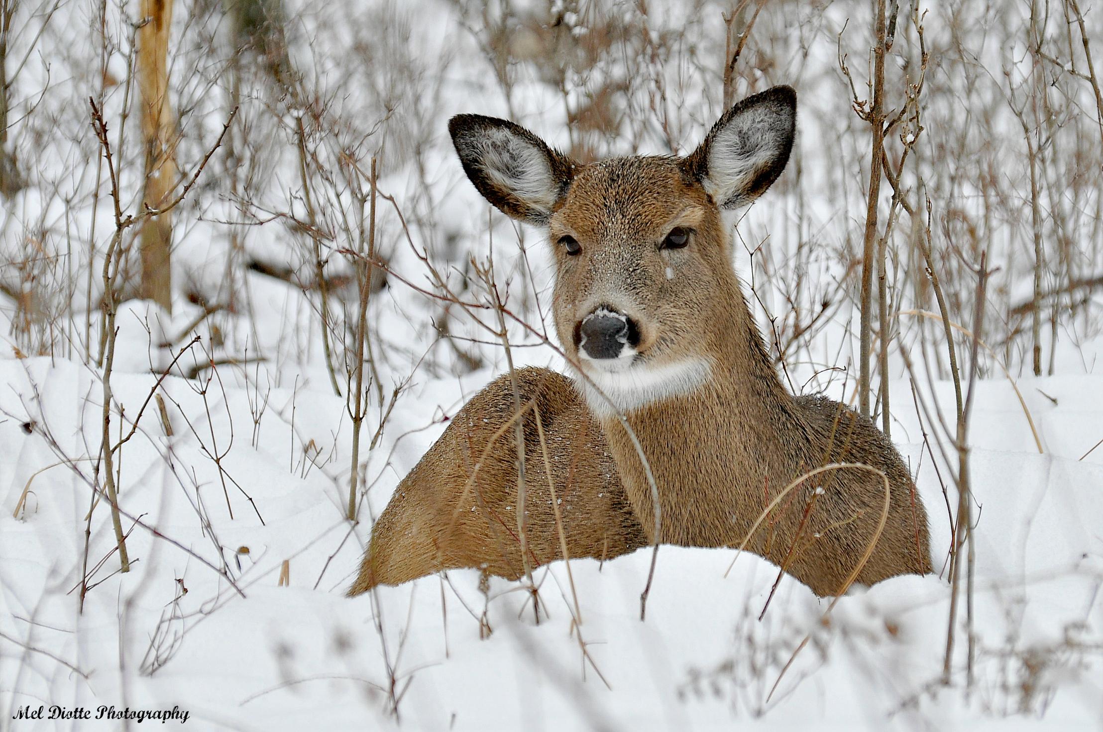 whitetail deer in snow - Copy.jpg