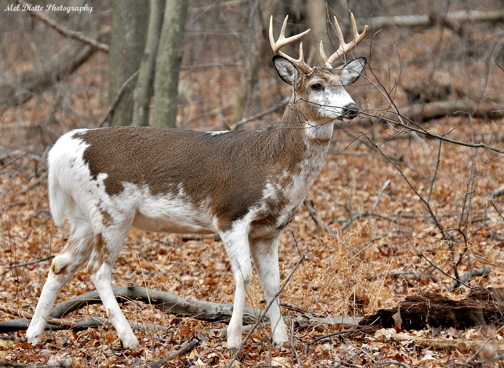 whitetail deer piebald.jpg