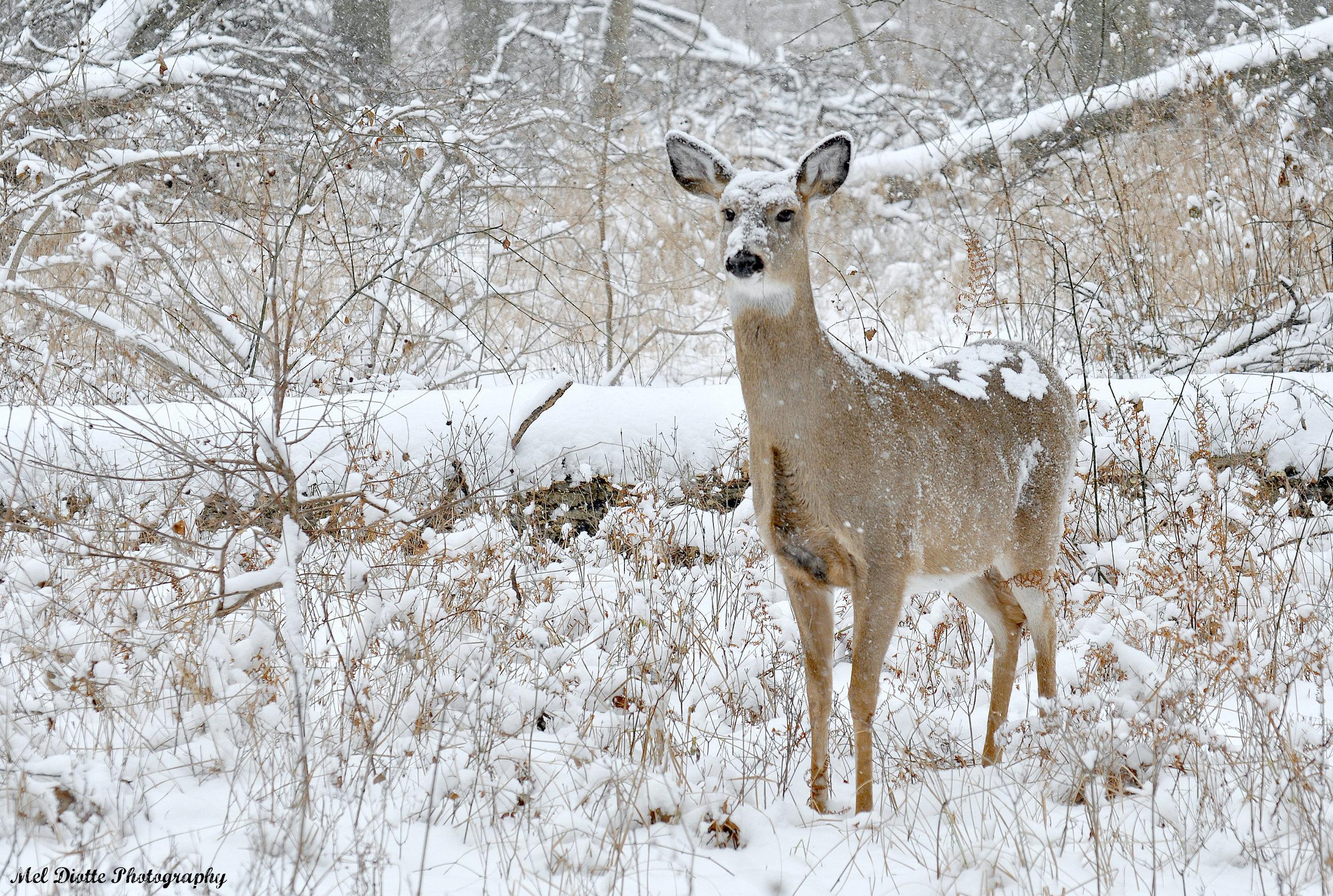 whitetail deer snow.jpg