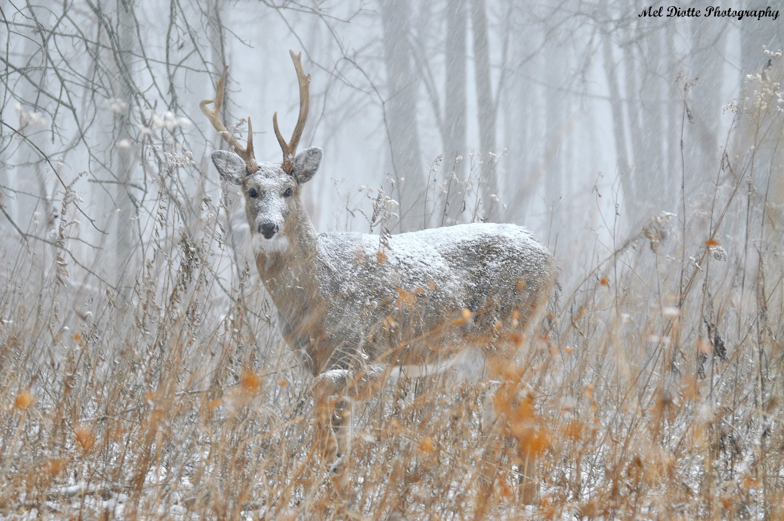 whitetail deer snow2.jpg