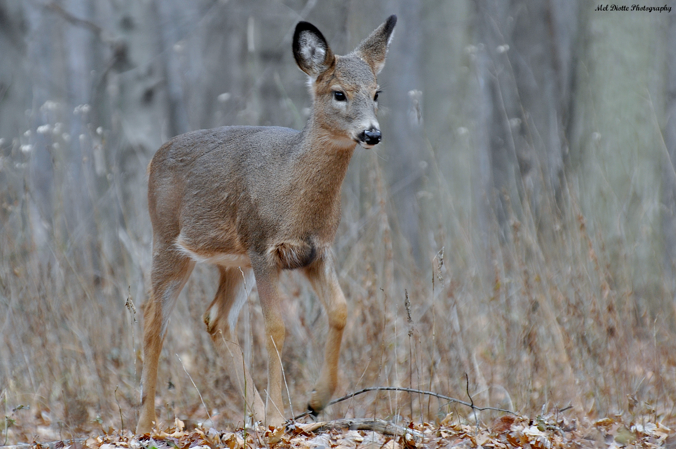 whitetail deer young.jpg