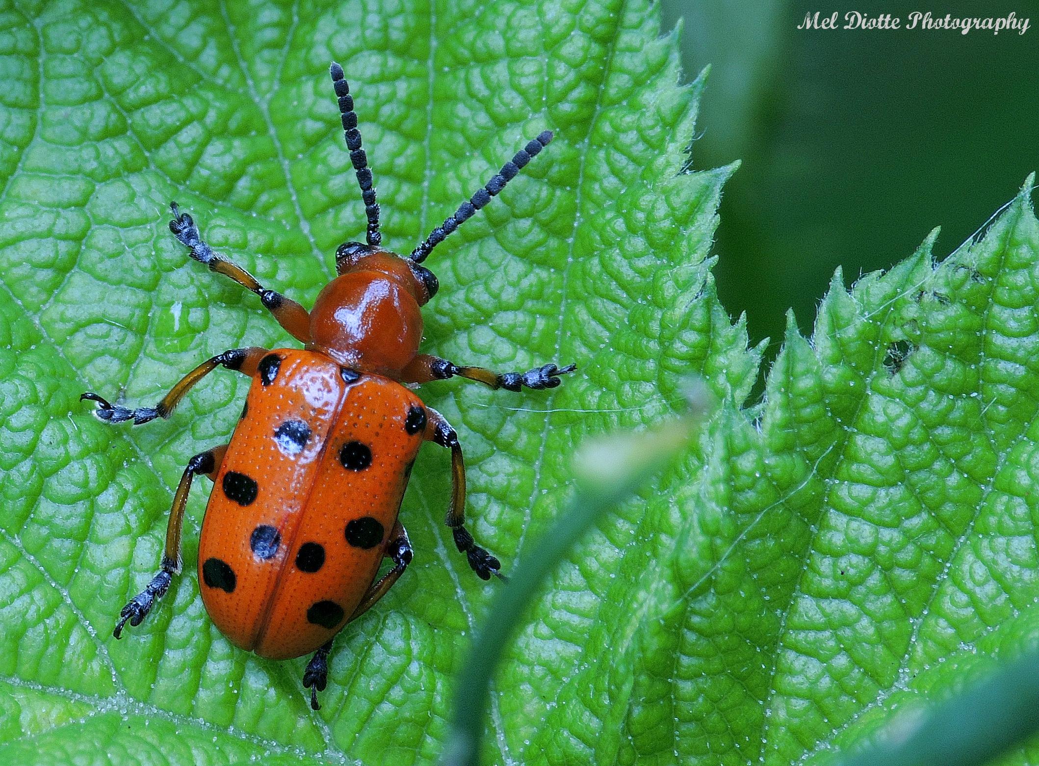 asparagus beetle june 11 2015csigned.jpg